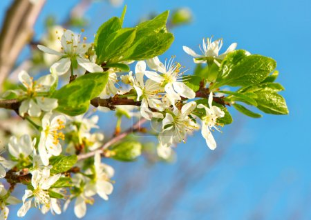 Photo for Blossoming apple tree with white flowers over blue sky background - Royalty Free Image