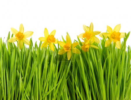 Photo for Fresh spring narcissus flowers in green grass with water drops on white background - Royalty Free Image
