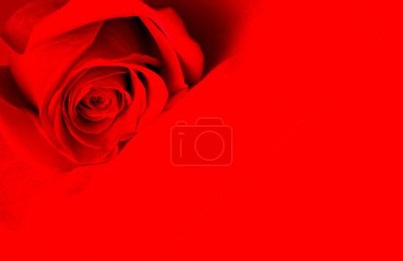 Photo for 'beautiful red rose over red background - Royalty Free Image