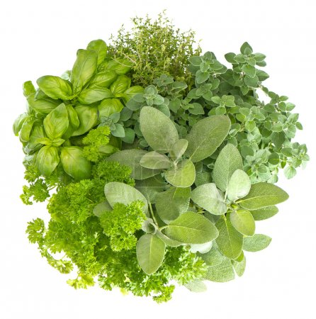 Photo for Variety fresh herbs isolated on white background. marjoram, parsley, basil, rosemary, thyme, sage - Royalty Free Image