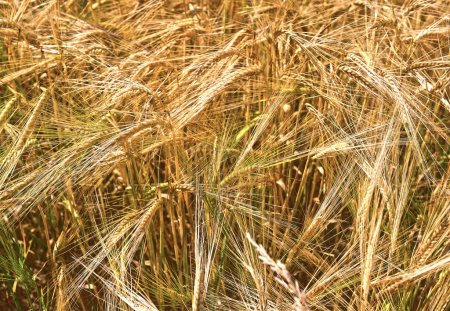 Photo for Golden ears. field of wheat - Royalty Free Image