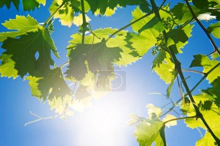 Photo pour Branche de vigne sur fond bleu ciel ensoleillé - image libre de droit