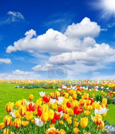 Photo for Tulip flowers field. spring landscape with blue sunny sky - Royalty Free Image