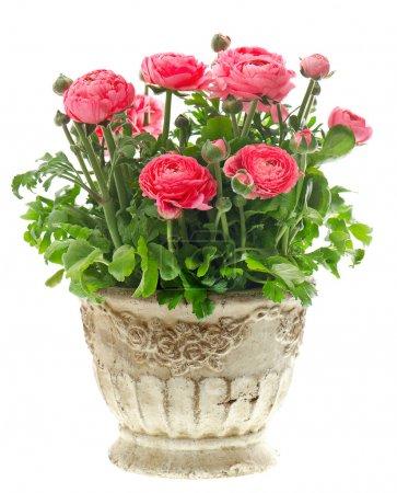 beautiful pink ranunculus plant in vintage pot