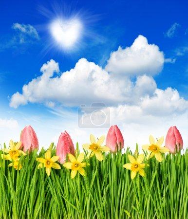 Foto de Campo de flores con tulipanes y Narciso en la hierba verde. paisaje de primavera con azul cielo soleado - Imagen libre de derechos