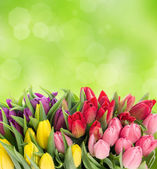 Multicolor tulips over blurred green background