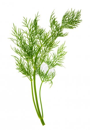 Photo for Closeup of dill herb leaf isolated on white background. food ingredient - Royalty Free Image