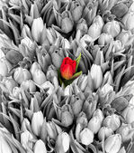 tulips. black white with one red flower