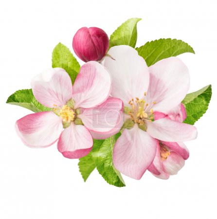 apple tree blossoms. spring flowers
