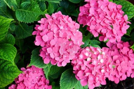 Foto de Flores de Hortensia contra un fondo de hojas verdes - Imagen libre de derechos