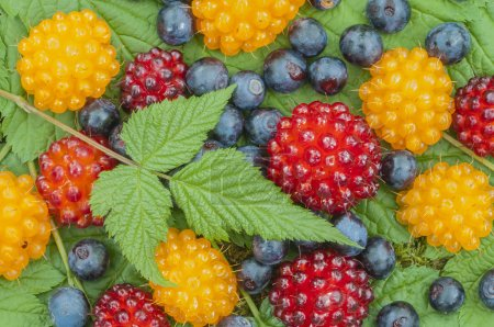 Photo for Closeup of assortment of wild blueberries and salmon berries on leaves - Royalty Free Image