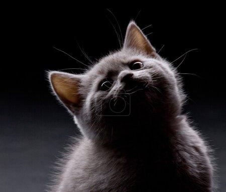 Photo pour Amusant chaton fumose regarder vers le haut sur fond sombre - image libre de droit