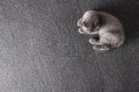 Photo pour Petit chaton britannique gris jouant, couché sur une couverture grise - image libre de droit