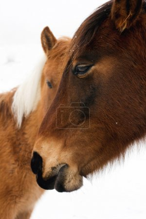 Photo for Parent of chestnut horses in winter on white, close-up - Royalty Free Image