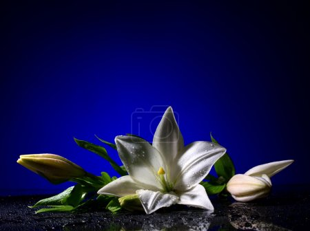 Photo for Beautiful white freshness lily with buds black table with bright water drop on dark blue background - Royalty Free Image