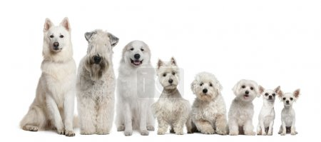 Group of white dogs sitting, from taller to smalle...
