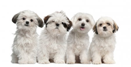 Group of Shih Tzu and Maltese puppy sitting and looking at camera against white background