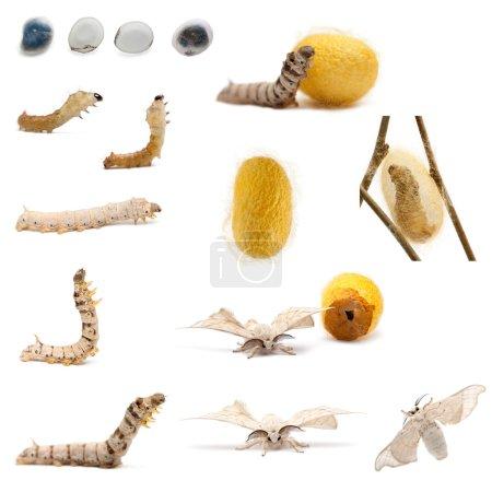 Complete evolution of silkworm, Bombyx mori, against white background