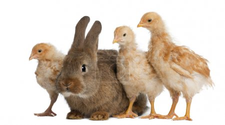 Chicks standing next to Rabbit against white background