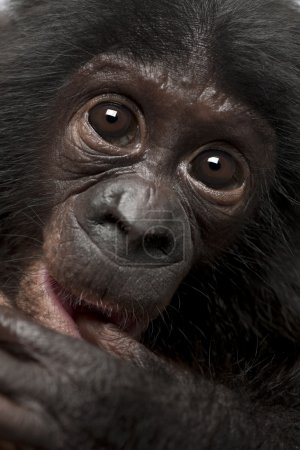 Photo pour Bébé bonobo, pan paniscus, 4 mois, bouchent portrait - image libre de droit