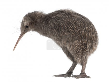 North Island Brown Kiwi, Apteryx mantelli, 5 month...