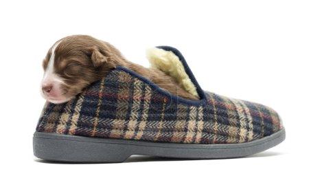 Australian Shepherd puppy sleeping in a slipper, 11 days old against white background