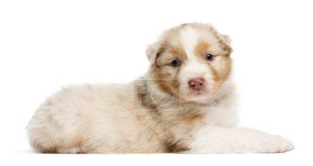 Australian Shepherd puppy, 30 days old, lying against white background