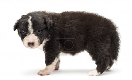 Side view of an Australian Shepherd puppy, 24 days old, standing and portrait against white background