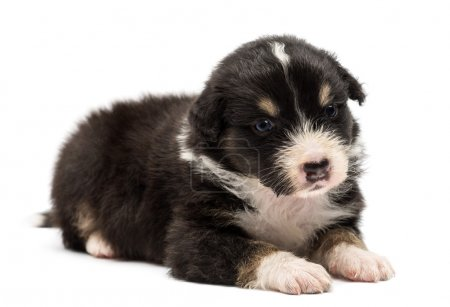 Australian Shepherd puppy, 24 days old, lying and looking away against white background