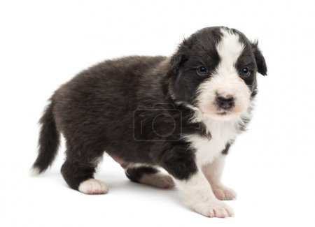 Australian Shepherd puppy, 22 days old, standing and portrait against white background