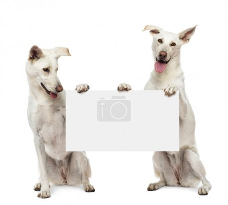 Two Crossbreed dogs sitting and holding white sign against white