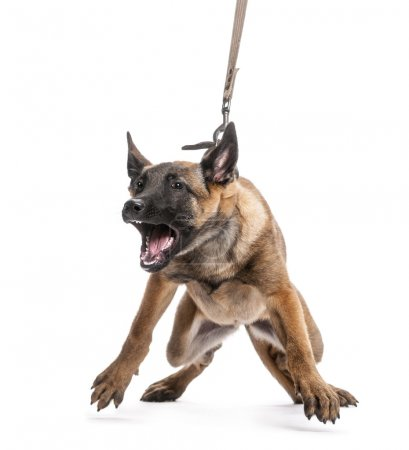 Belgian Shepherd leashed and aggressive against white background