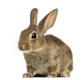 European rabbit or common rabbit, 2 months old, Oryctolagus cuniculus against white background