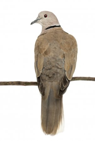 Rear view of an Eurasian Collared Dove perched on branch, Streptopelia decaocto, often called the Collared Dove against white background