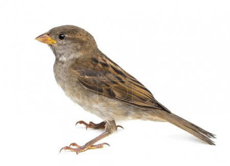 House Sparrow against white background...