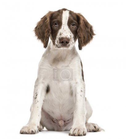English Springer Spaniel sitting and looking at camera against white background