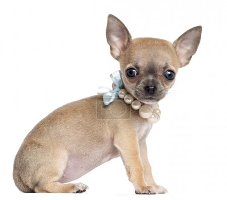 Chihuahua puppy, 4 months old, wearing pearl necklace, sitting and looking at camera against white background