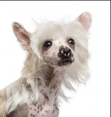 Close-up of Chinese Crested dog looking away against white background