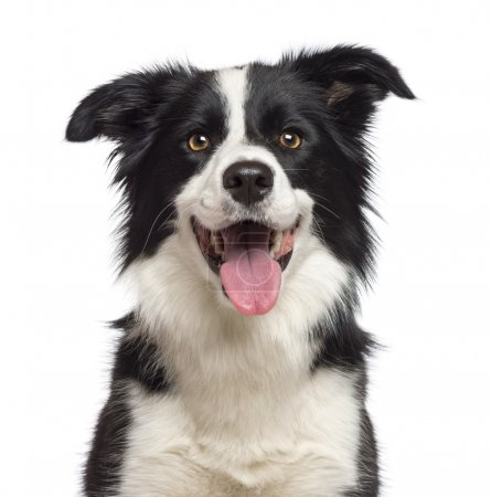 Close-up of Border Collie, 1.5 years old, looking at camera against white background