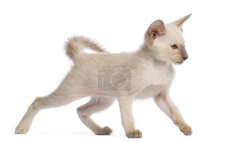Oriental Shorthair kitten, 9 weeks old, walking against white background