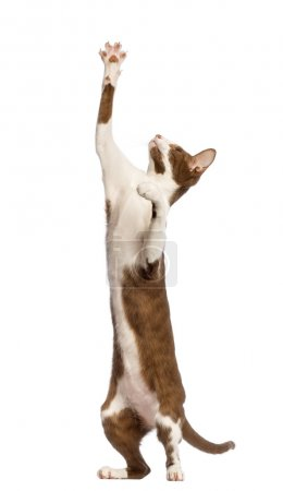 Oriental Shorthair standing on hind legs and reaching against white background
