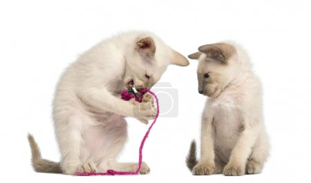 Photo for Oriental Shorthair kitten playing with pink string with another watching against white background - Royalty Free Image