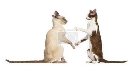 Photo pour Deux poils courts orientaux assis et prêts à se battre sur fond blanc - image libre de droit
