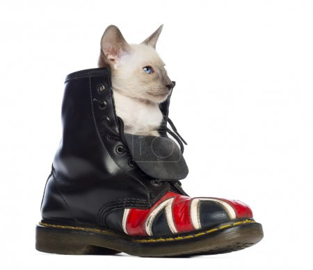 Photo for Oriental Shorthair kitten sitting in boot with Union Jack against white background - Royalty Free Image