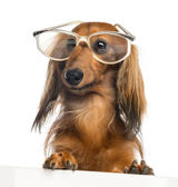 Dachshund, 4 years old, leaning on a white plank and wearing glasses against white background