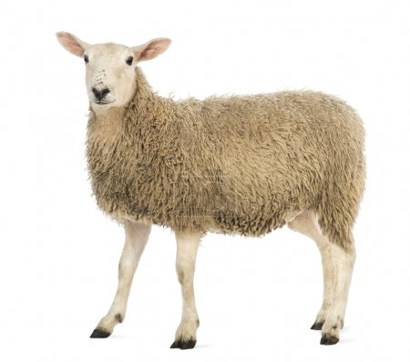 Side view of a Sheep looking at camera against white background