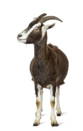 Toggenburg goat looking left against white background