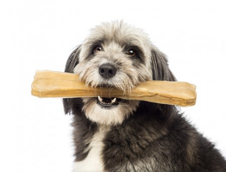 Close-up of a Crossbreed, 4 years old, holding a bone its a mouth in front of white background