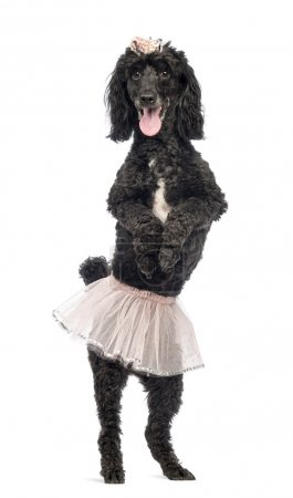 Poodle, 5 years old, standing, dancing, wearing a pink tutu and panting in front of white background
