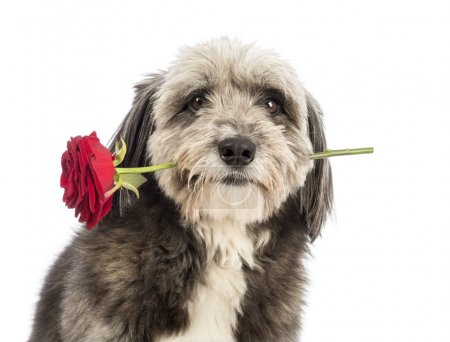 Close-up of a Crossbreed, 4 years old, holding a red rose in its mouth in front of white background